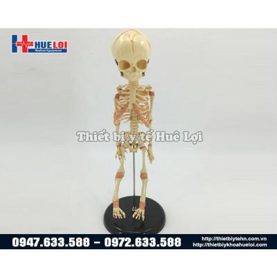 Mô hình xương trẻ em