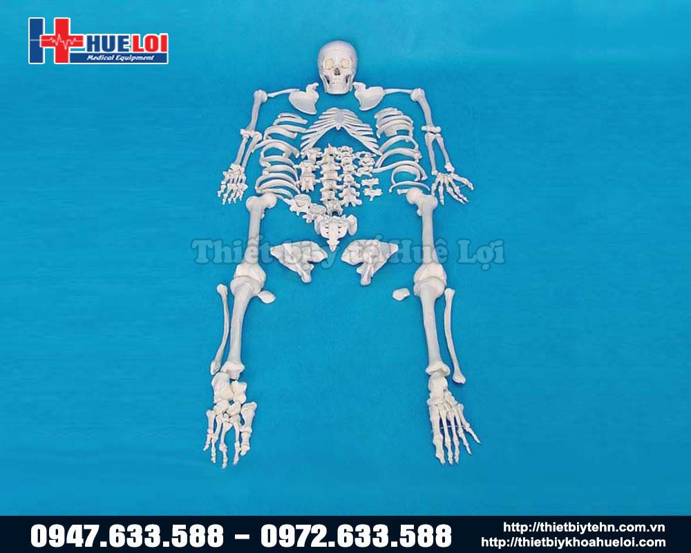 Mô hình xương người tách rời