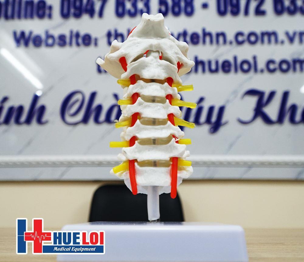 mô hình xương cột sống cổ