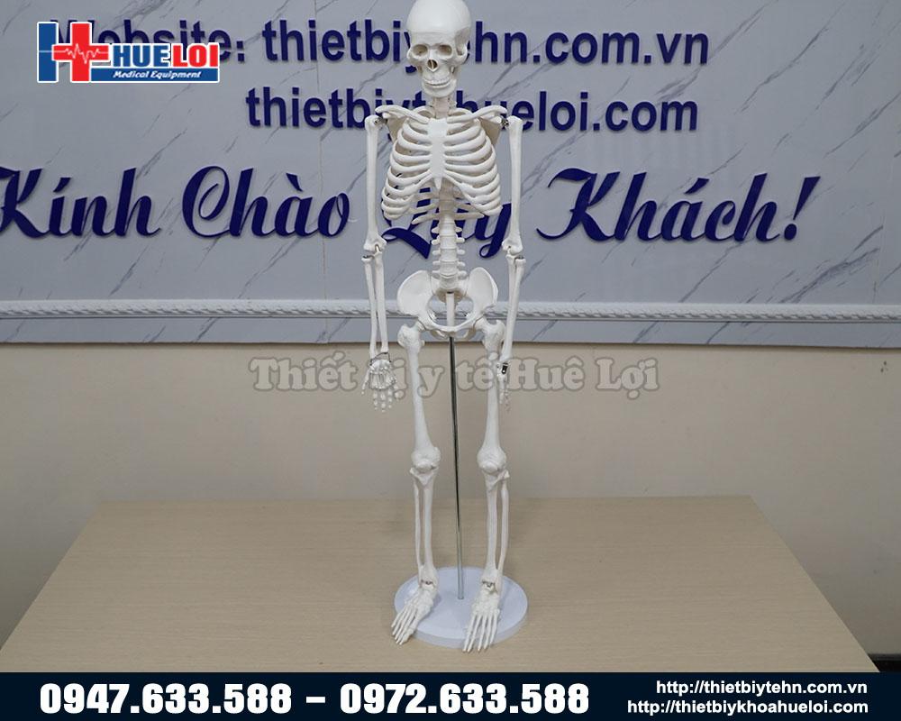 mô hình xương để bàn