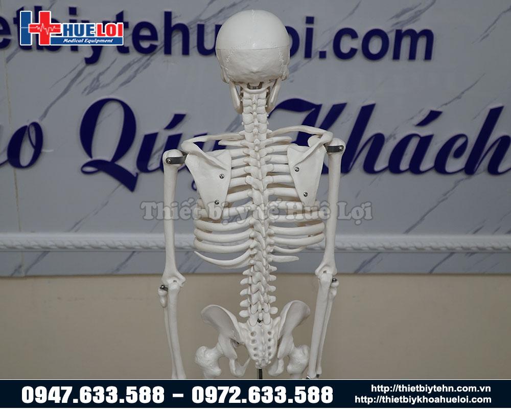 Mô hình xương trưng bày