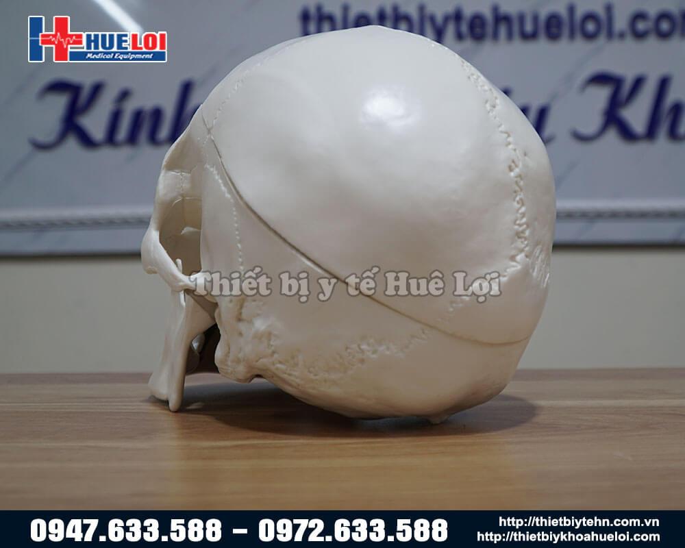 mặt sau mô hình xương sọ người