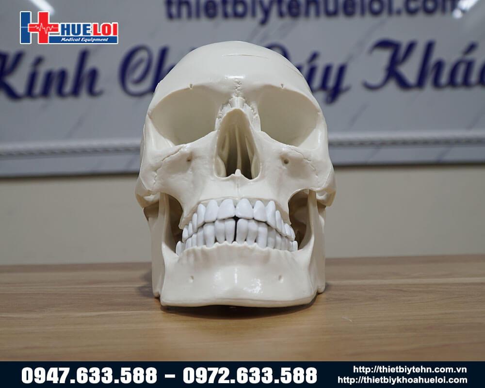 Mô hình mặt  trước xương sọ người