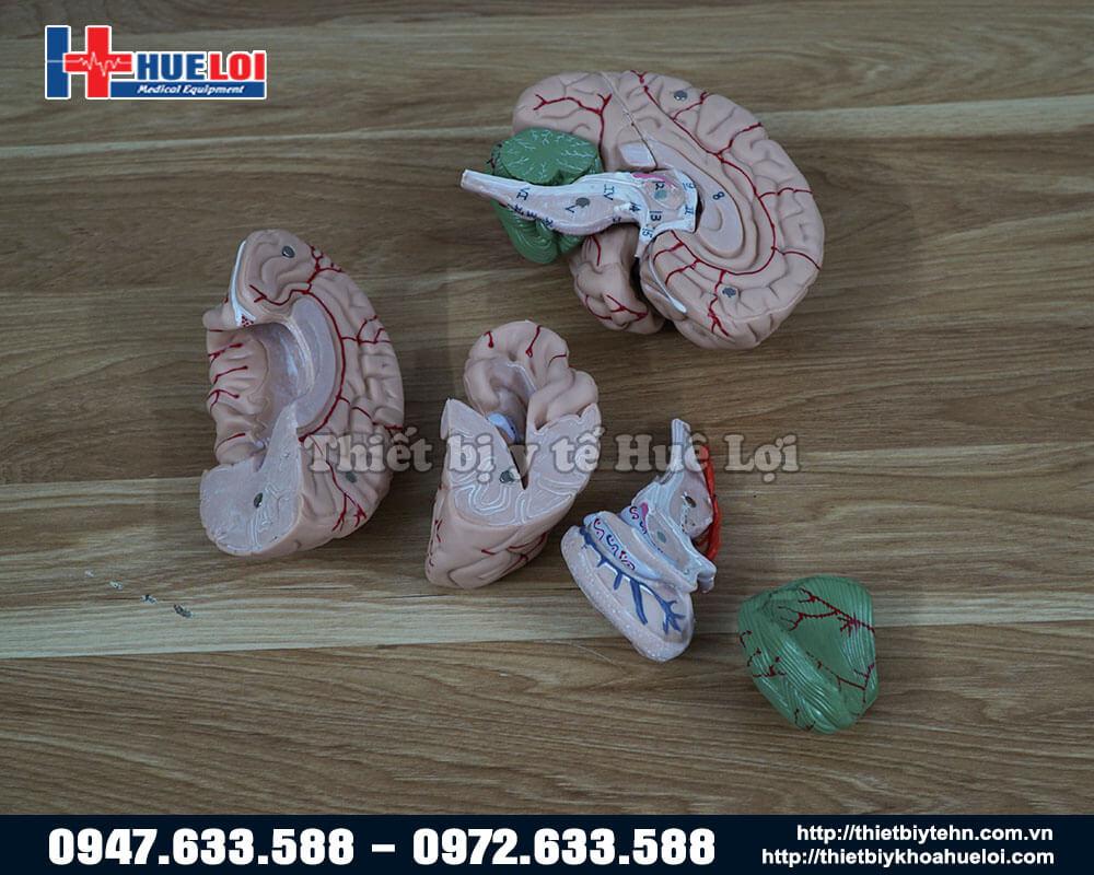 Mô hình não người bóc tách