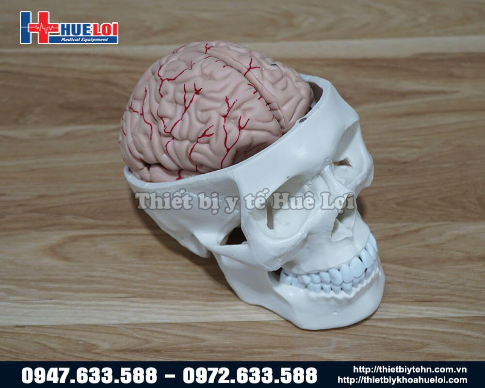 Mô hình hộp sọ và não người