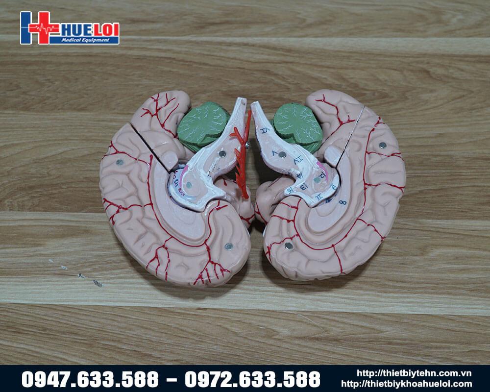 mô hình não người