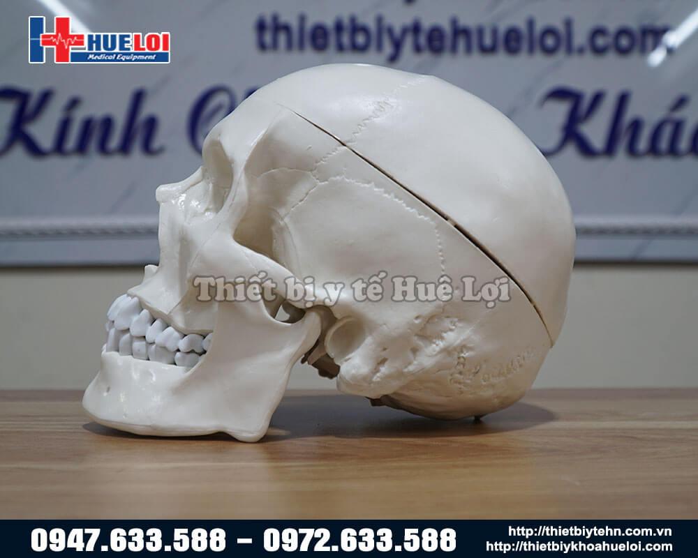 Mô hình hôp sọ người