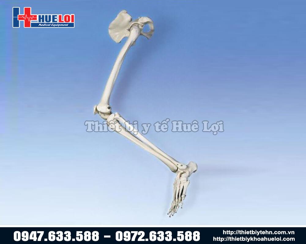 Mô hình giải phẫu xương chi dưới